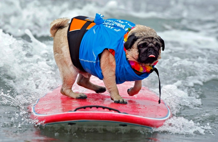 """A two-year-old Pug named Bentley rides a wave at the 4th annual Helen Woodward Animal Center """"Surf Dog Surf-A-Thon"""" at dog beach in Del Mar"""